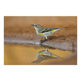 Yellow-Rumped Warbler (Dendroica Coronata) Poster