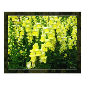 Yellow Snapdragon Field photo