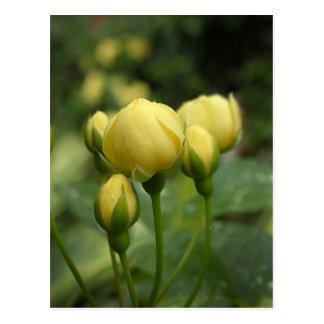 Yellow Spring Banksia Rose Buds Postcard