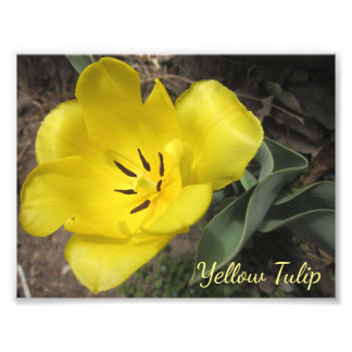 Yellow Spring Tulip Macro Stock Photo