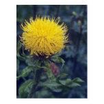 yellow Star Thistle, (Centaurea Macrophala) flower Post Cards