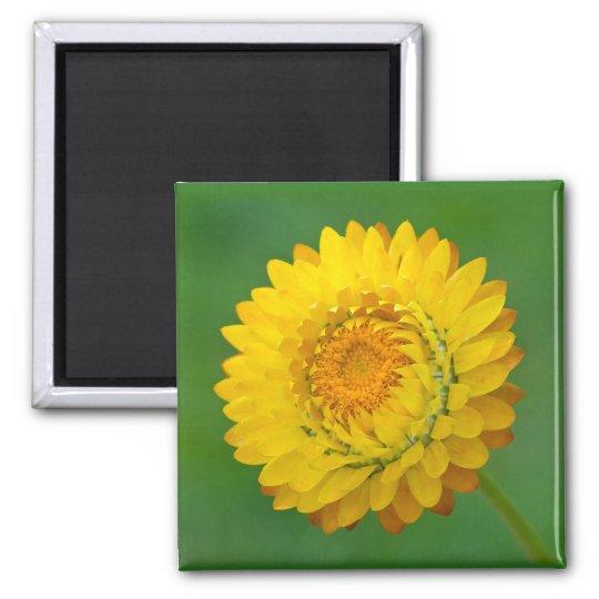 Yellow Strawflower Square Magnet