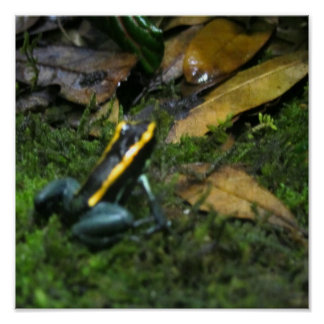 Yellow Striped Dart Frog Posters