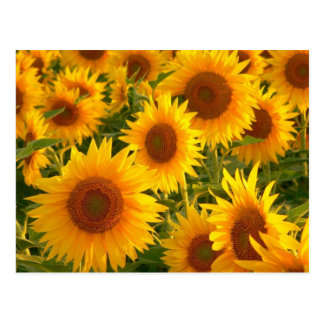 Yellow Sunflower Blank Floral Postcard
