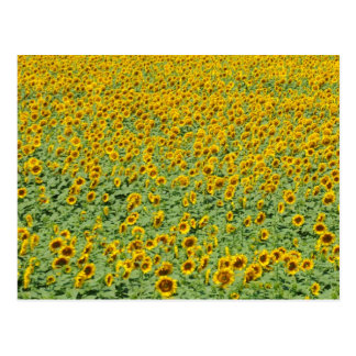 Yellow Sunflower Field Postcard