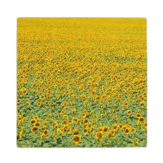 Yellow Sunflower Field Wood Coaster