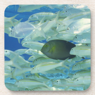 Yellow surgeon fish with yellow stripe goldfish beverage coasters
