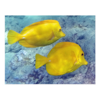 Yellow Tangs Postcard