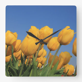 Yellow tulips by Thespringgarden Square Wall Clock