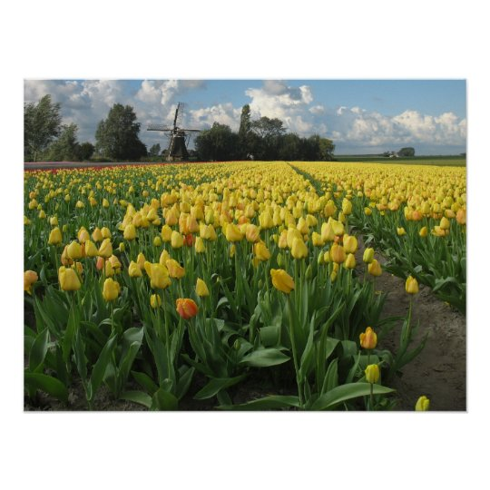 Yellow Tulips in a Field Holland Poster