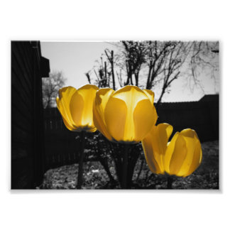 Yellow Tulips Photo Print