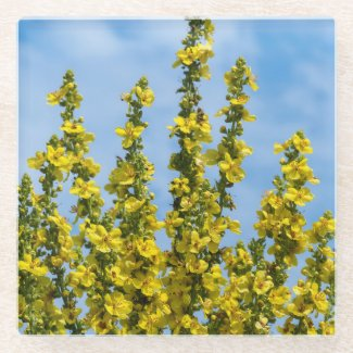 Yellow Verbascum Flowers Glass Coaster