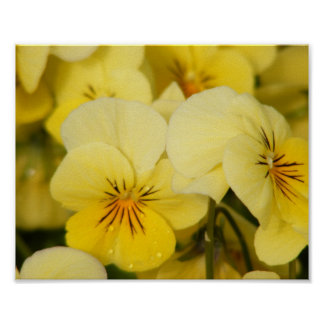 Yellow Violas (Pansies) Poster