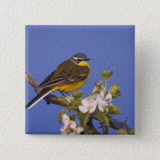 Yellow Wagtail, Motacilla flava, male on apple 15 Cm Square Badge