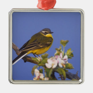 Yellow Wagtail, Motacilla flava, male on apple Christmas Ornament