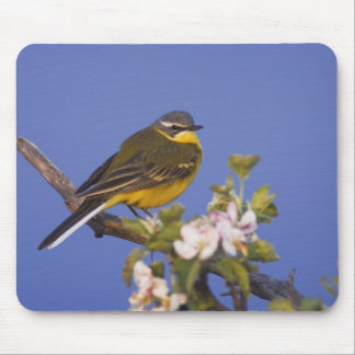 Yellow Wagtail, Motacilla flava, male on apple Mouse Mat