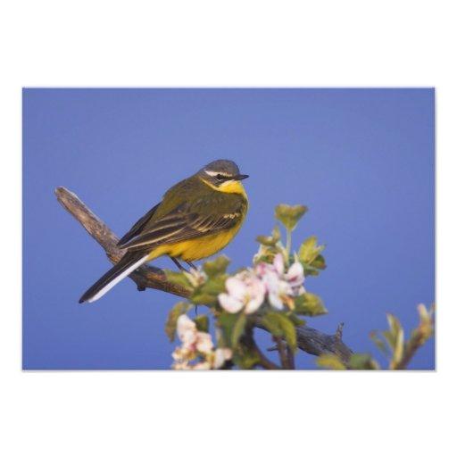 Yellow Wagtail, Motacilla flava, male on apple Photo Print
