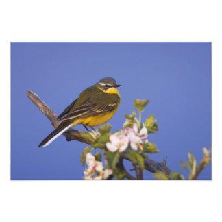Yellow Wagtail, Motacilla flava, male on apple Photographic Print