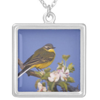 Yellow Wagtail, Motacilla flava, male on apple Silver Plated Necklace