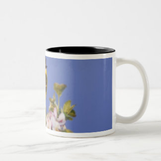 Yellow Wagtail, Motacilla flava, male on apple Two-Tone Coffee Mug
