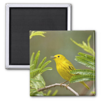 Yellow Warbler Dendroica petechia) adult 2 Magnet