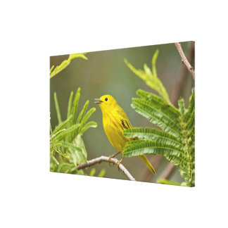 Yellow Warbler Dendroica petechia) adult Canvas Print