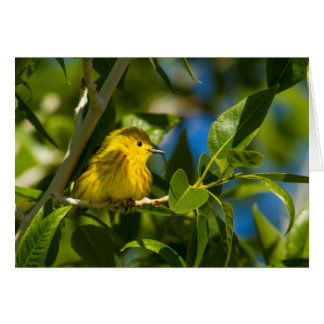 Yellow Warbler In Tree Near Augusta, Montana Card