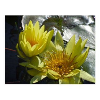 Yellow Water Lilies Post Cards