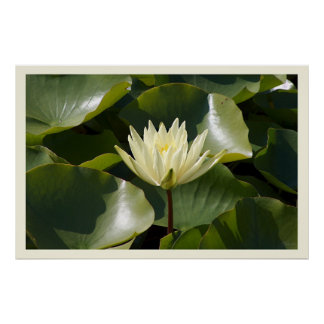 Yellow Water Lily Posters