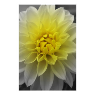 Yellow White Dahlia Poster