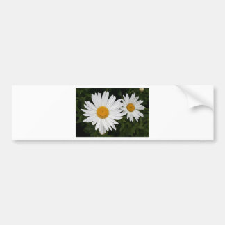 Yellow & white Daisies: flowers in bloom Bumper Sticker