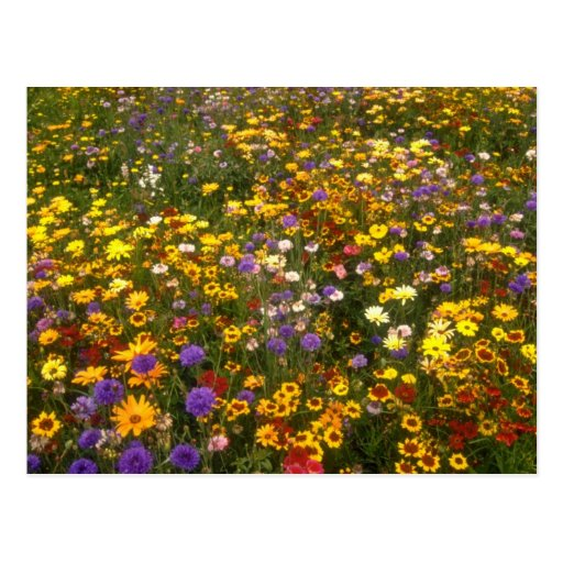 Yellow Wildflowers flowers Post Cards