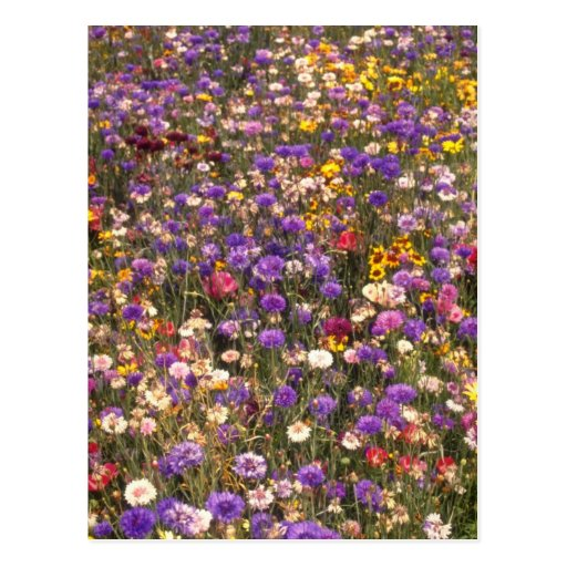 Yellow Wildflowers flowers Post Card