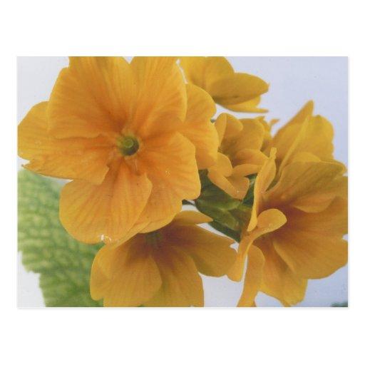 Yellow Winter Flowering Pansy Postcard