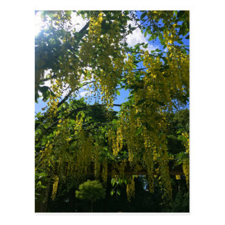 Yellow Wisteria Postcard