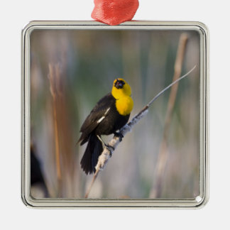 Yellowheaded Blackbird singing in small pond Silver-Colored Square Decoration