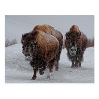 Yellowstone Bison Postcard