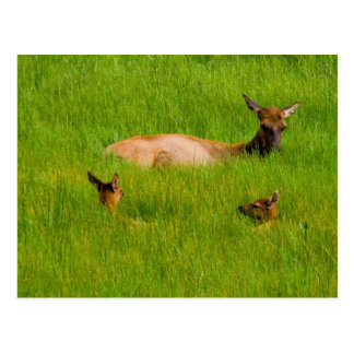 Yellowstone Elk Postcard