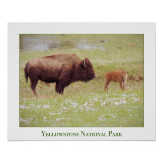Yellowstone Poster with Bison and Calf
