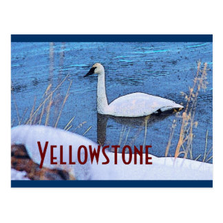 Yellowstone Swan Postcard