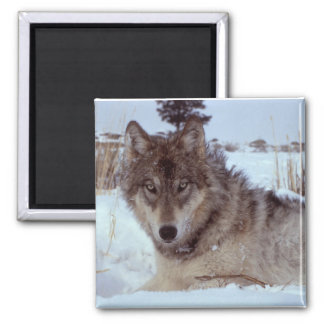 Yellowstone Wolf Square Magnet