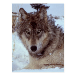 Yellowstone Wolf Postcard