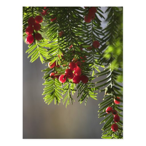 Yew berries postcard