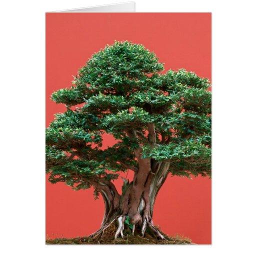 Yew bonsai cards