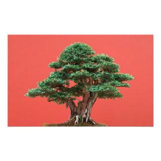 Yew bonsai photo print