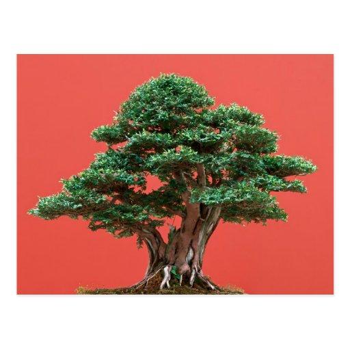 Yew bonsai post cards