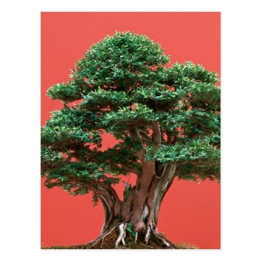 Yew bonsai post card