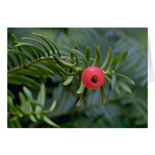 Yew tree fruit (taxus brevifolia) card