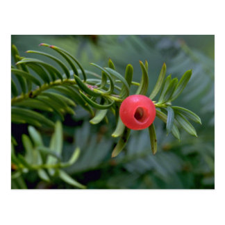 Yew tree fruit taxus brevifolia post card