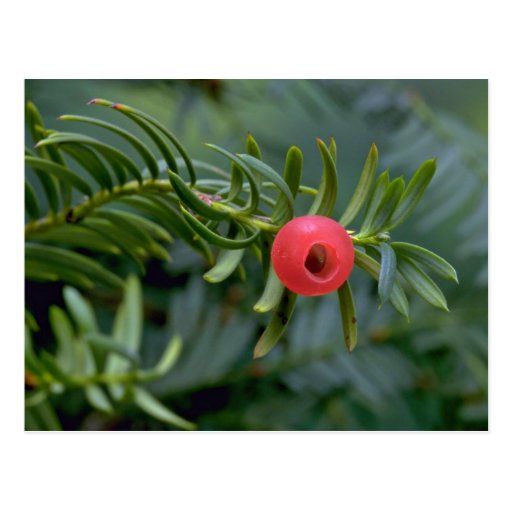 Yew tree fruit (taxus brevifolia) post card